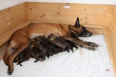 Tatoo et ses chiots 1 semaine