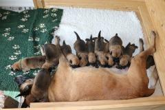 Tatoo et ses chiots 2 semaines